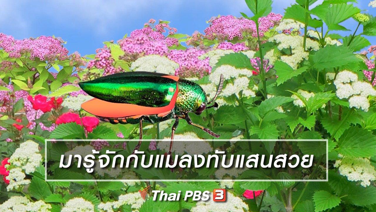 TataTitiToto ไดโนมหัศจรรย์ - เกร็ดน่ารู้กับตาต้าตีตี้โตโต้ : มารู้จักกับแมลงทับแสนสวย