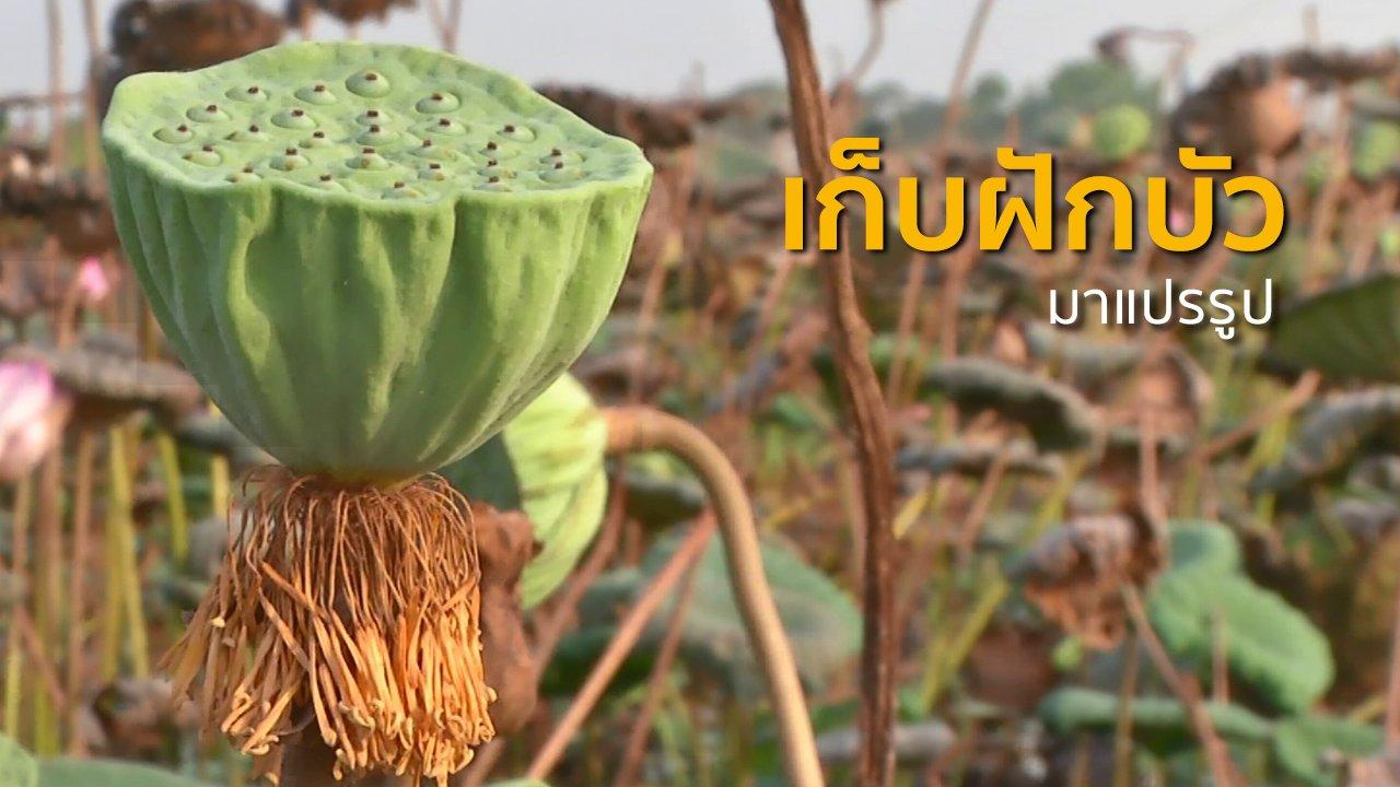ทุกทิศทั่วไทย - ชุมชนทั่วไทย : เก็บฝักบัวขาย