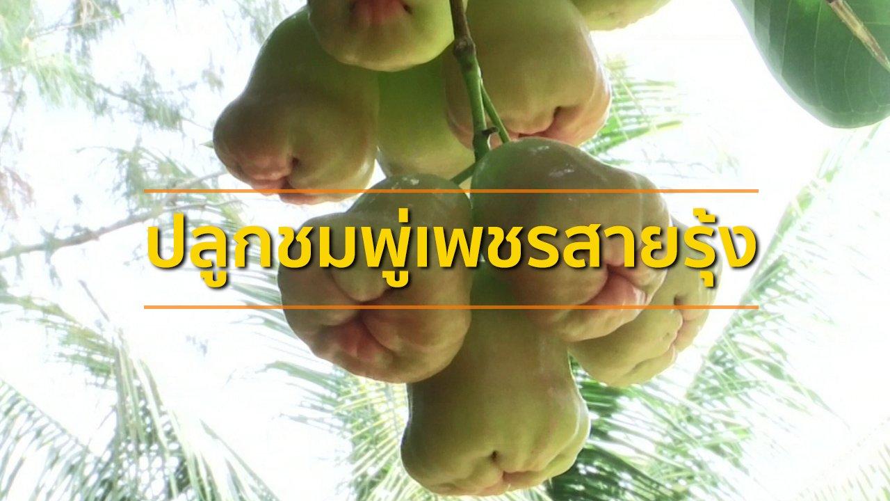ทุกทิศทั่วไทย - อาชีพทั่วไทย : ปลูกชมพู่เพชรสายรุ้ง จ.เพชรบุรี