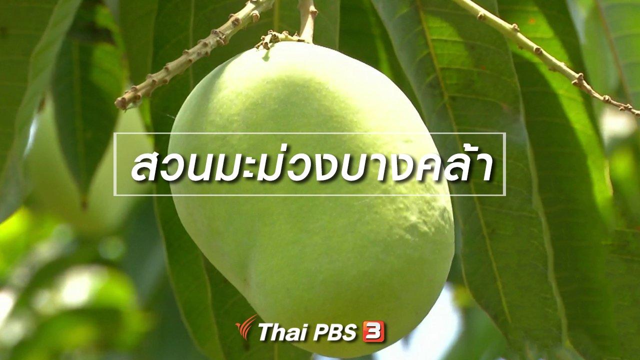 จับตาสถานการณ์ - ตะลุยทั่วไทย : สวนมะม่วงบางคล้า
