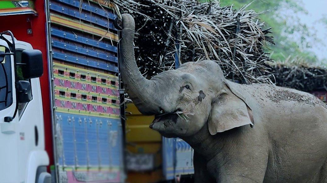 สัตว์ป่วนเมือง - ช้างป่าดักปล้นอ้อย