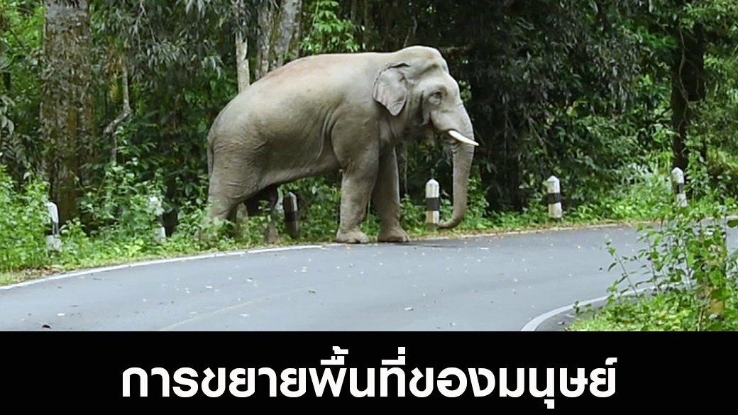 สัตว์ป่วนเมือง - การขยายพื้นที่ของมนุษย์ ผลักดันให้ช้างป่าออกนอกป่า