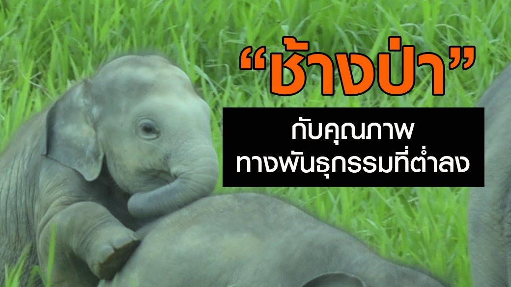 """สัตว์ป่วนเมือง - """"ช้างป่า"""" กับคุณภาพทางพันธุกรรมที่ต่ำลง"""