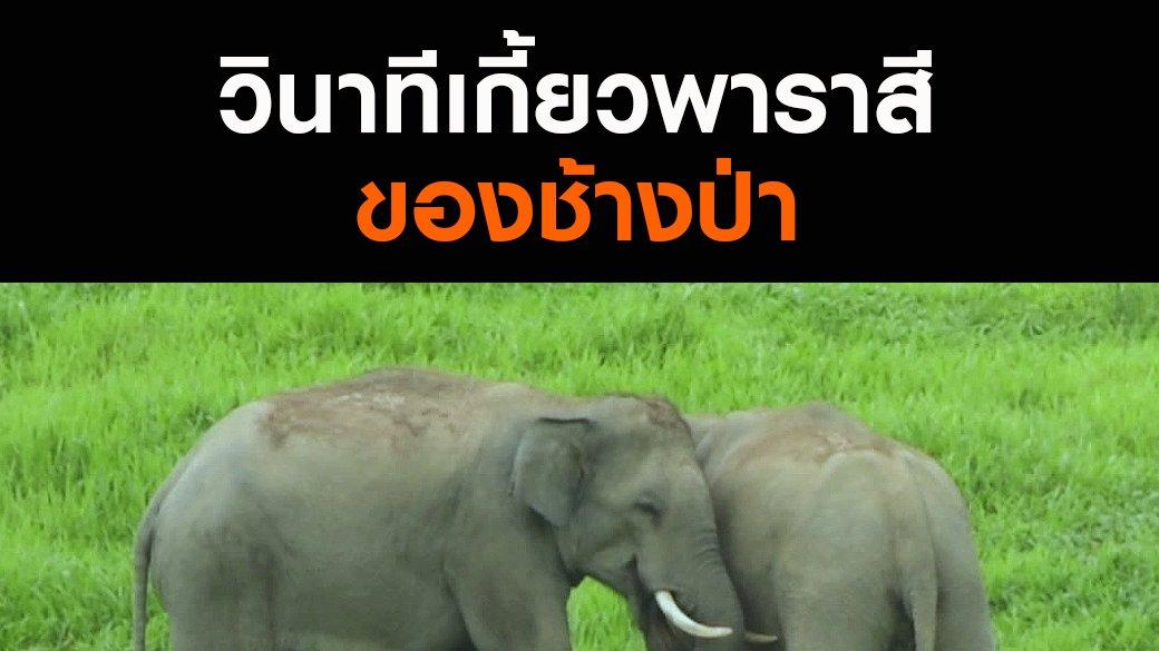 สัตว์ป่วนเมือง - วินาทีเกี้ยวพาราสีของช้างป่า