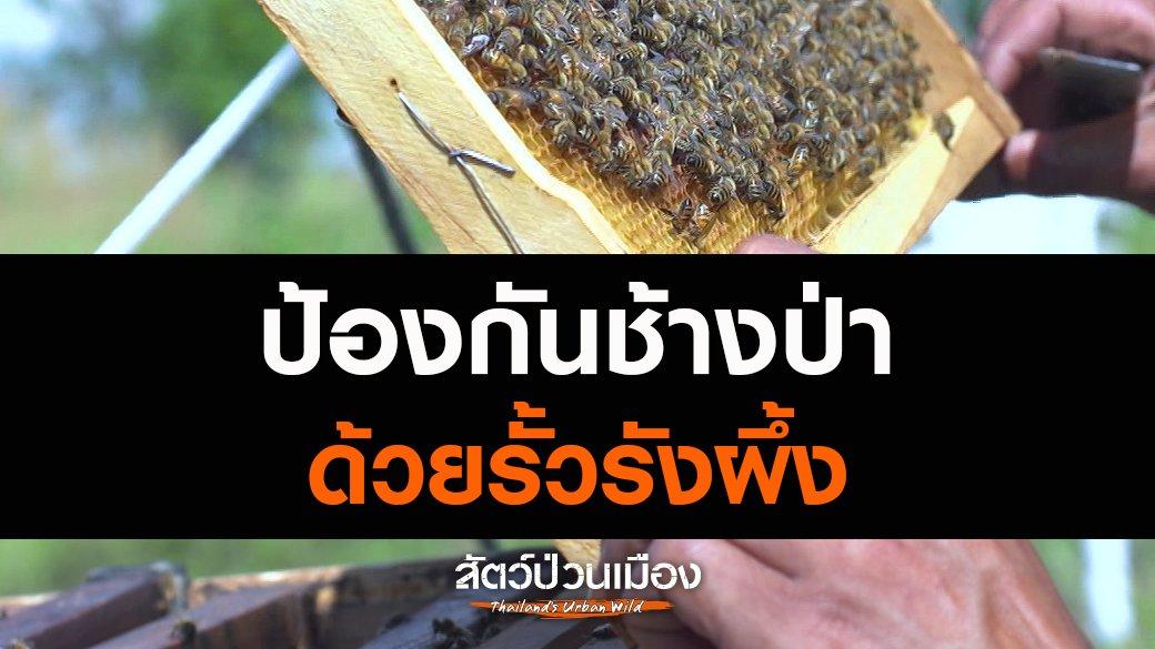 สัตว์ป่วนเมือง - ป้องกันช้างป่าด้วยรั้วรังผึ้ง