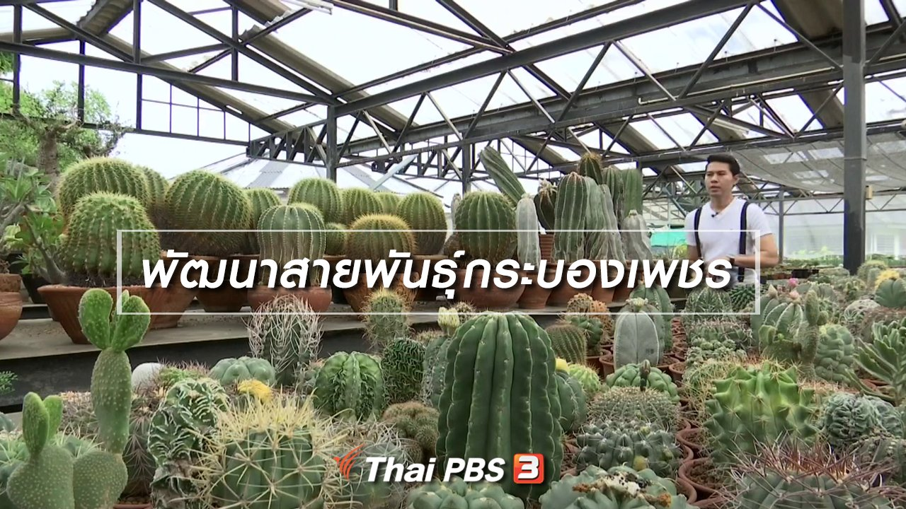 จับตาสถานการณ์ - ตะลุยทั่วไทย : พัฒนาสายพันธุ์กระบองเพชร
