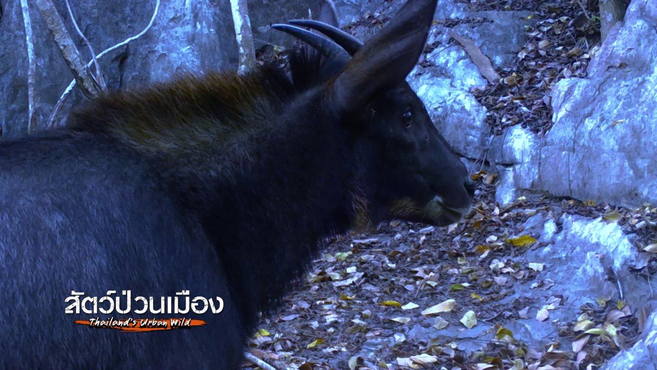 """สัตว์ป่วนเมือง - จิตอาสาเติมน้ำในป่า ให้ """"เลียงผา"""" ไว้กินไว้ใช้"""