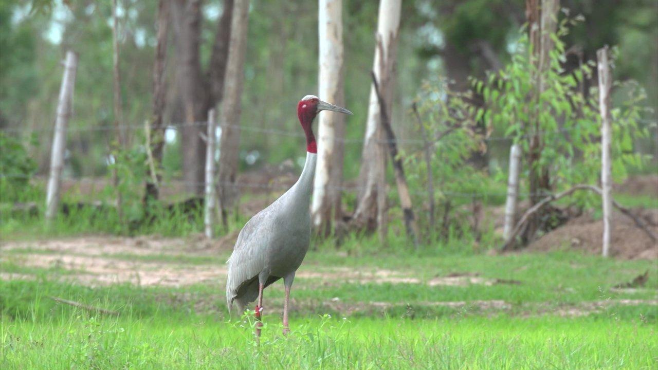 สัตว์ป่วนเมือง - ผสมเทียมนกกระเรียนพันธุ์ไทย ไม่ใช่เรื่องง่าย!