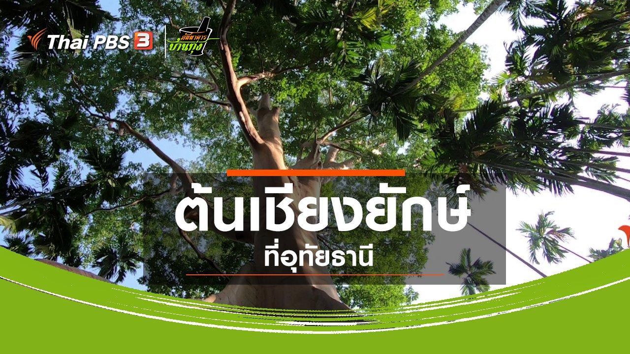 ภัตตาคารบ้านทุ่ง - คลิปบ้านทุ่ง : ต้นเชียงยักษ์ที่อุทัยธานี