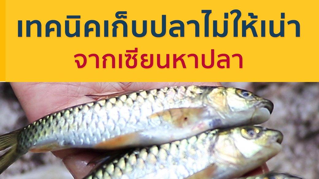 ซีรีส์วิถีคน - เทคนิคเก็บปลาไม่ให้เน่า