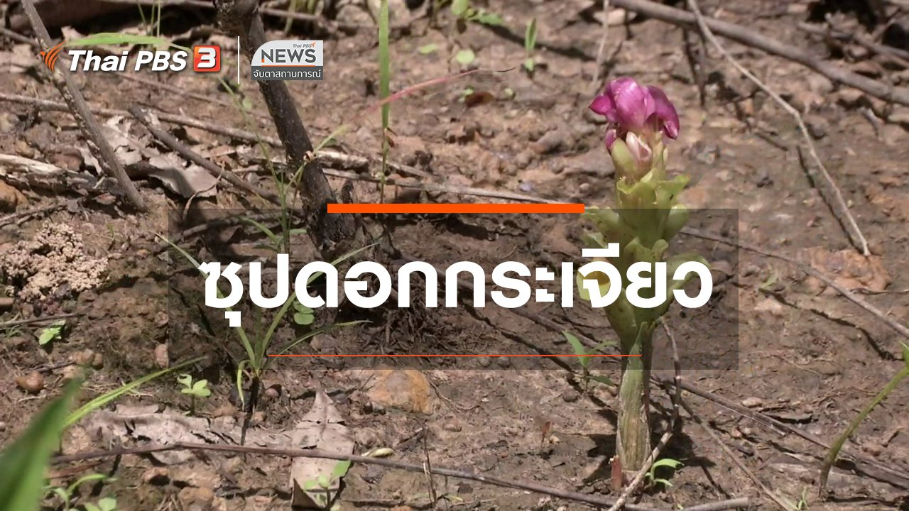 จับตาสถานการณ์ - ตะลุยทั่วไทย : ซุปดอกกระเจียว