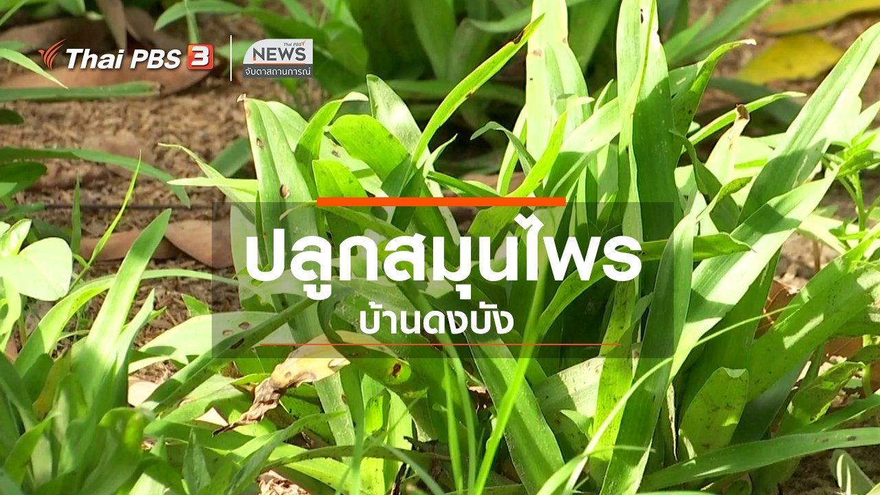 จับตาสถานการณ์ - ตะลุยทั่วไทย : ปลูกสมุนไพรบ้านดงบัง