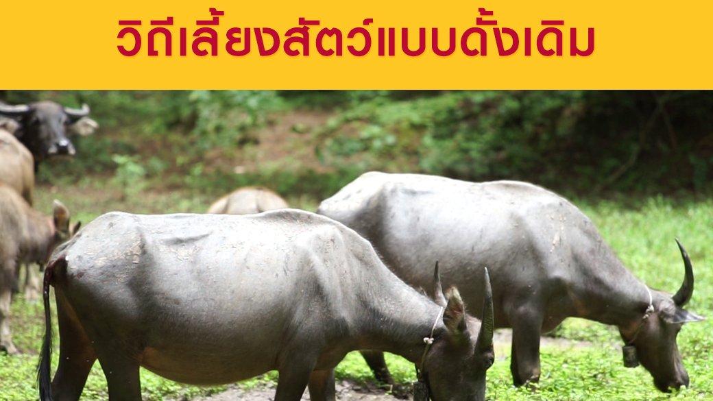 ซีรีส์วิถีคน - เลี้ยงวัวควายแบบปล่อยป่า วิถีเลี้ยงสัตว์แบบดั้งเดิม