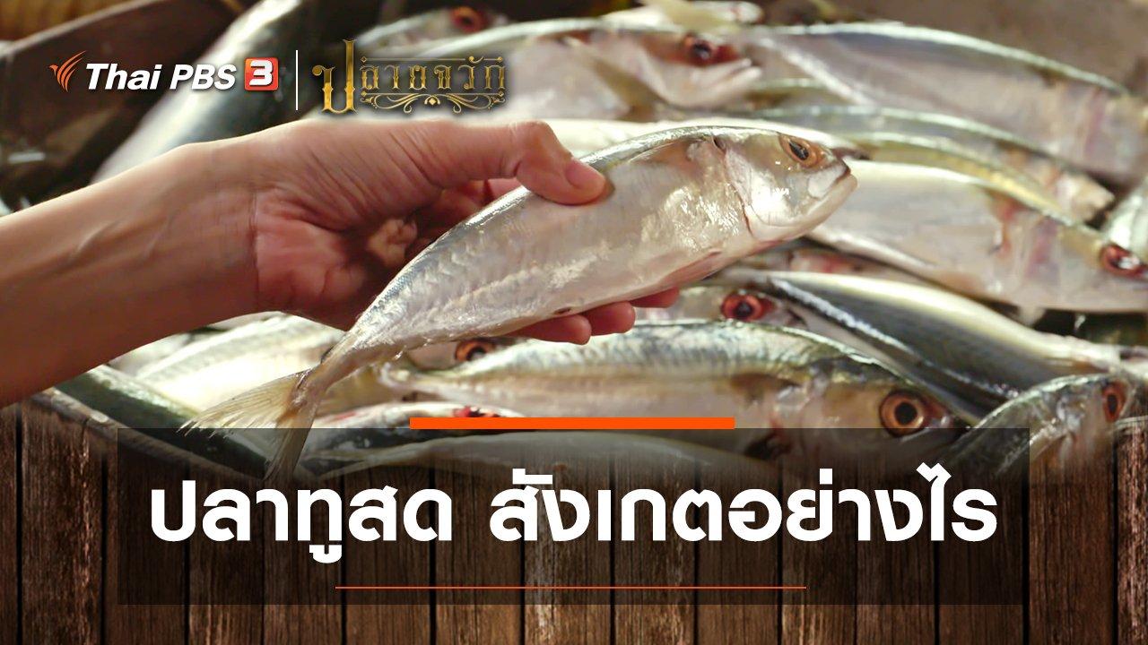 ปลายจวัก - ปลาทูสด สังเกตอย่างไร