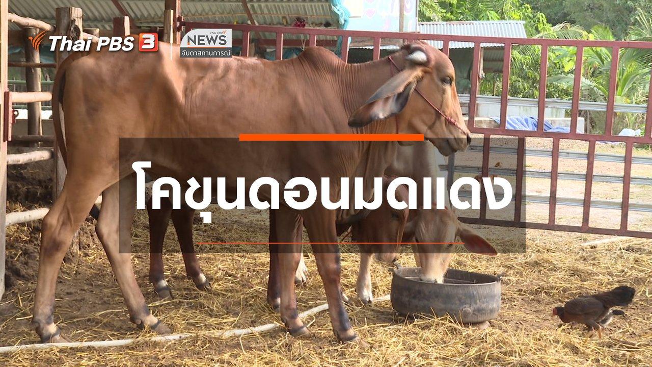 จับตาสถานการณ์ - ตะลุยทั่วไทย : โคขุนดอนมดแดง