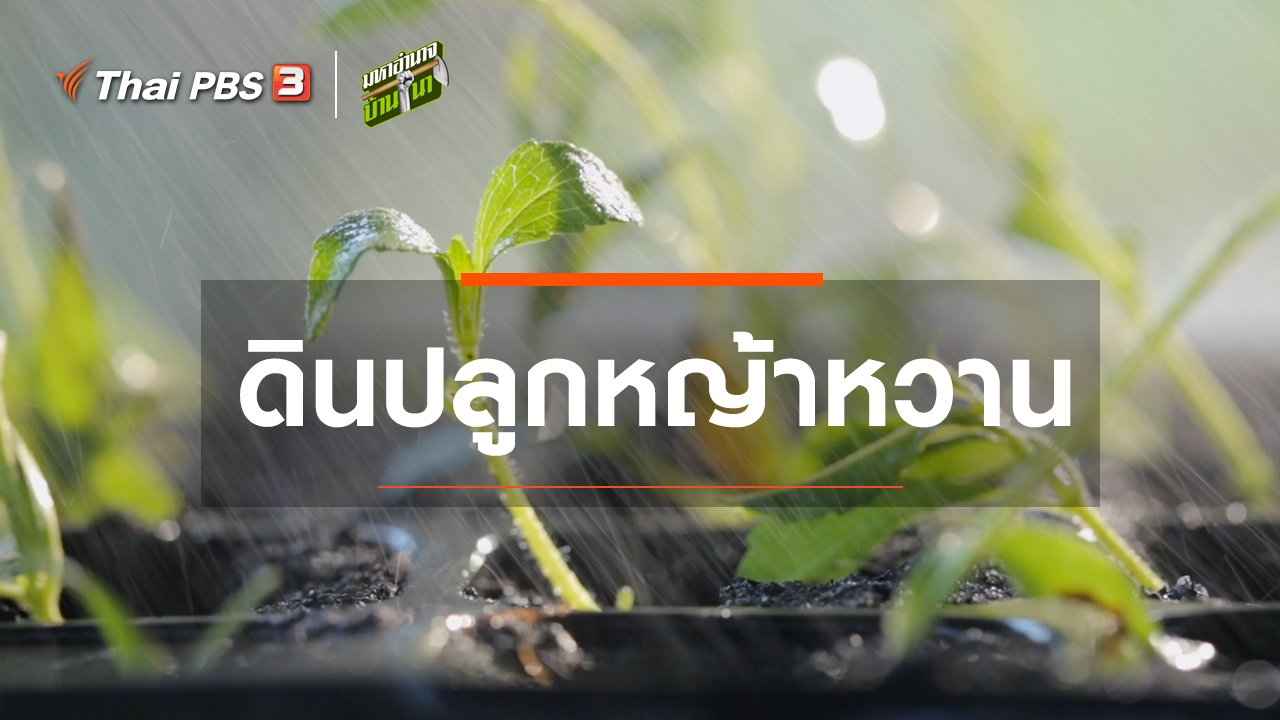 มหาอำนาจบ้านนา - สูตรลับฉบับบ้านนา : ดินปลูกหญ้าหวาน