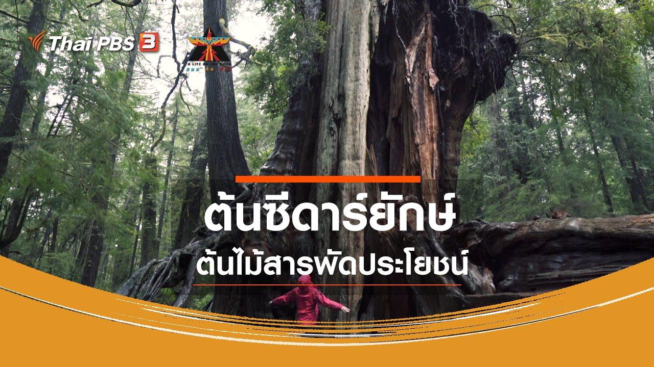 A Life on the Road  ถนน คน ชีวิต - เรื่องเล่าการเดินทาง : ต้นซีดาร์ยักษ์ ต้นไม้สารพัดประโยชน์