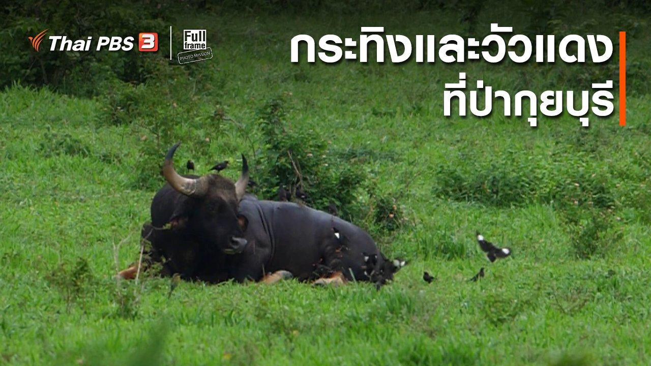 Full Frame Photo Mission - ภาพช็อตเด็ด : กระทิงและวัวแดงที่ป่ากุยบุรี