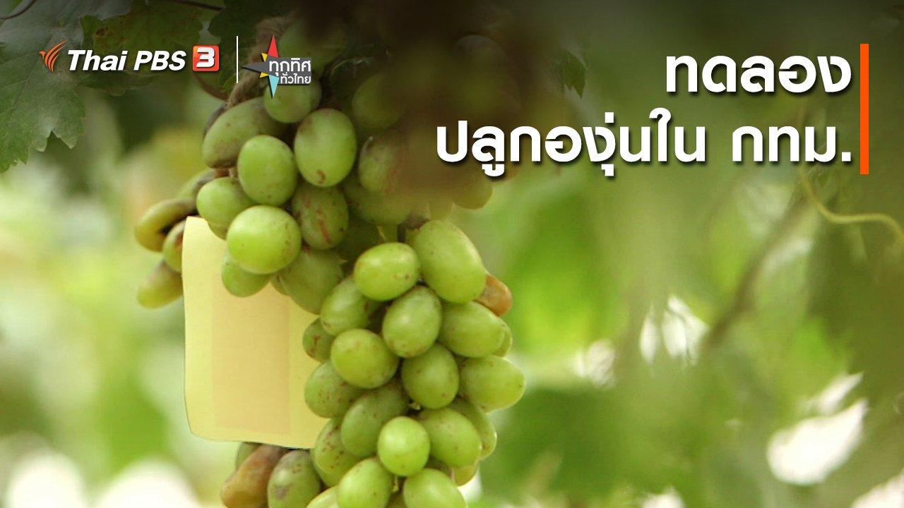 ทุกทิศทั่วไทย - อาชีพทั่วไทย : ทดลองปลูกองุ่นใน กทม.