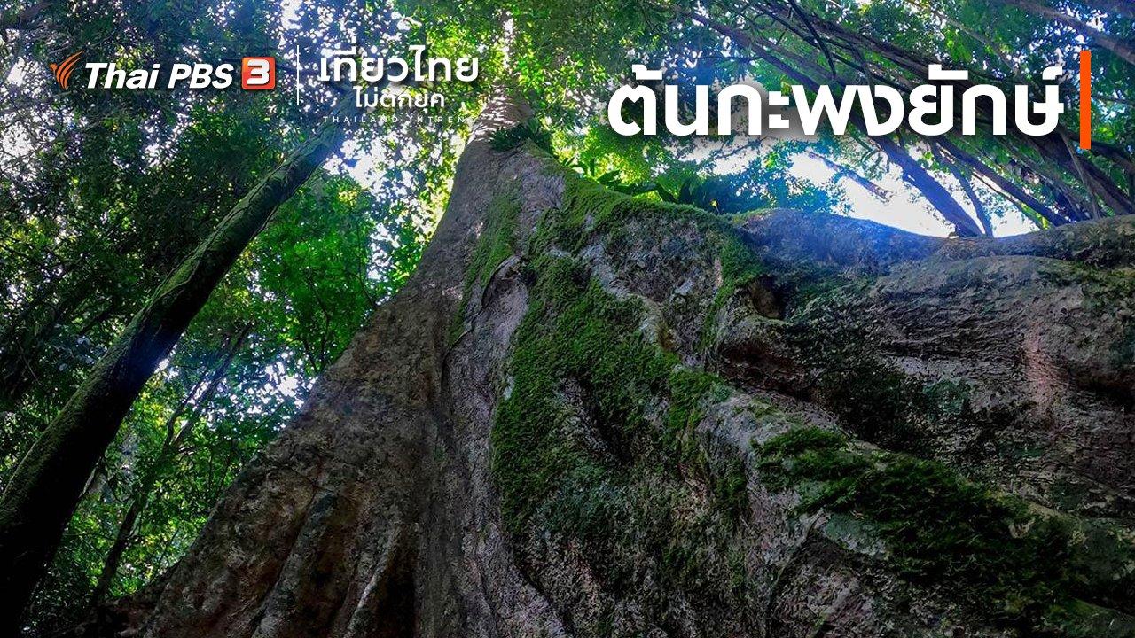 เที่ยวไทยไม่ตกยุค - เที่ยวทั่วไทย : ต้นกะพงยักษ์